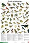 Einheimische Singvögel - Poster