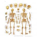 Das menschliche Skelett - Poster