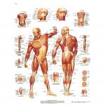 Die menschliche Muskulatur - Poster laminiert