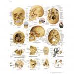 Der menschliche Schädel - Poster laminiert