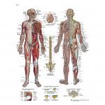 Das Nervensystem - Poster