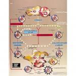 Transplantation Immunologie - Poster