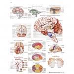 Das menschliche Gehirn - Poster