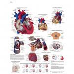 Das menschliche Herz - Poster laminiert