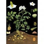 Lehrtafel zur Kartoffel