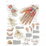 Hand und Handgelenk - Anatomie und Pathologie - Poster