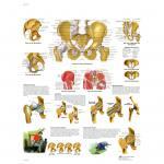 Becken und Hüfte - Anatomie und Pathologie - Poster
