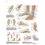 Fuß und Fußgelenke - Poster laminiert