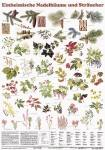 Einheimische Nadelbäume und Sträucher - Poster laminiert
