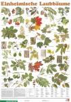 Einheimische Laubbäume - Poster laminiert