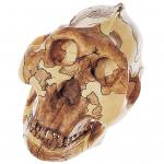Schädelrekonstruktion - Paranthropus boisei