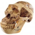 Schädelrekonstruktion - Australopithecus africanus