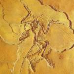 Archaeopteryx lithographica MEYER