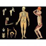 Skelett und Muskeln