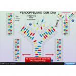 DNA-Struktur und DNA-Verdoppelung