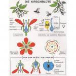 Botanik 1 (Blütenpflanzen)