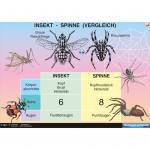 Insekt - Spinne (Vergleich)