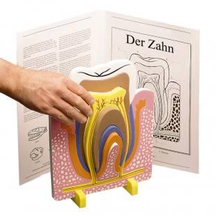 """Anatomisches Modell """"Der Zahn"""""""