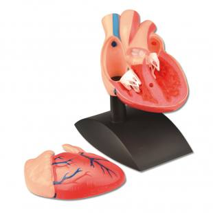 Das menschliche Herz - Modell