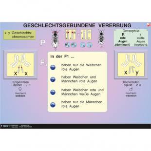 Interaktive digitale Tafelbilder GENETIK 2
