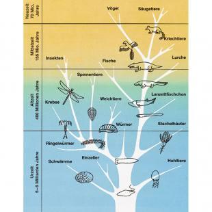 Transparent-Mappe zur Evolution