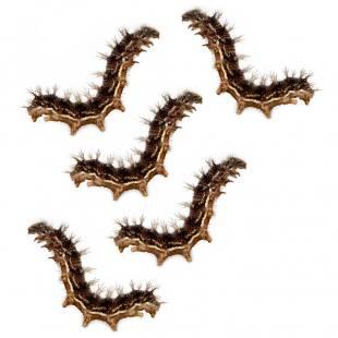 Raupen-Set für Schmetterlingszucht