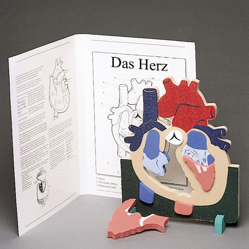 """Anatomisches Modell """"Das Herz"""""""