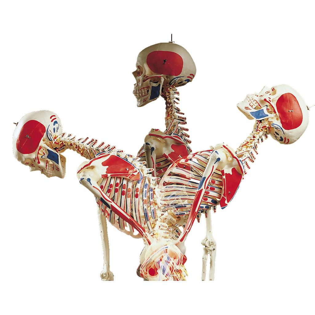 Skelett in Spezialausführung für Schulen-W-2015