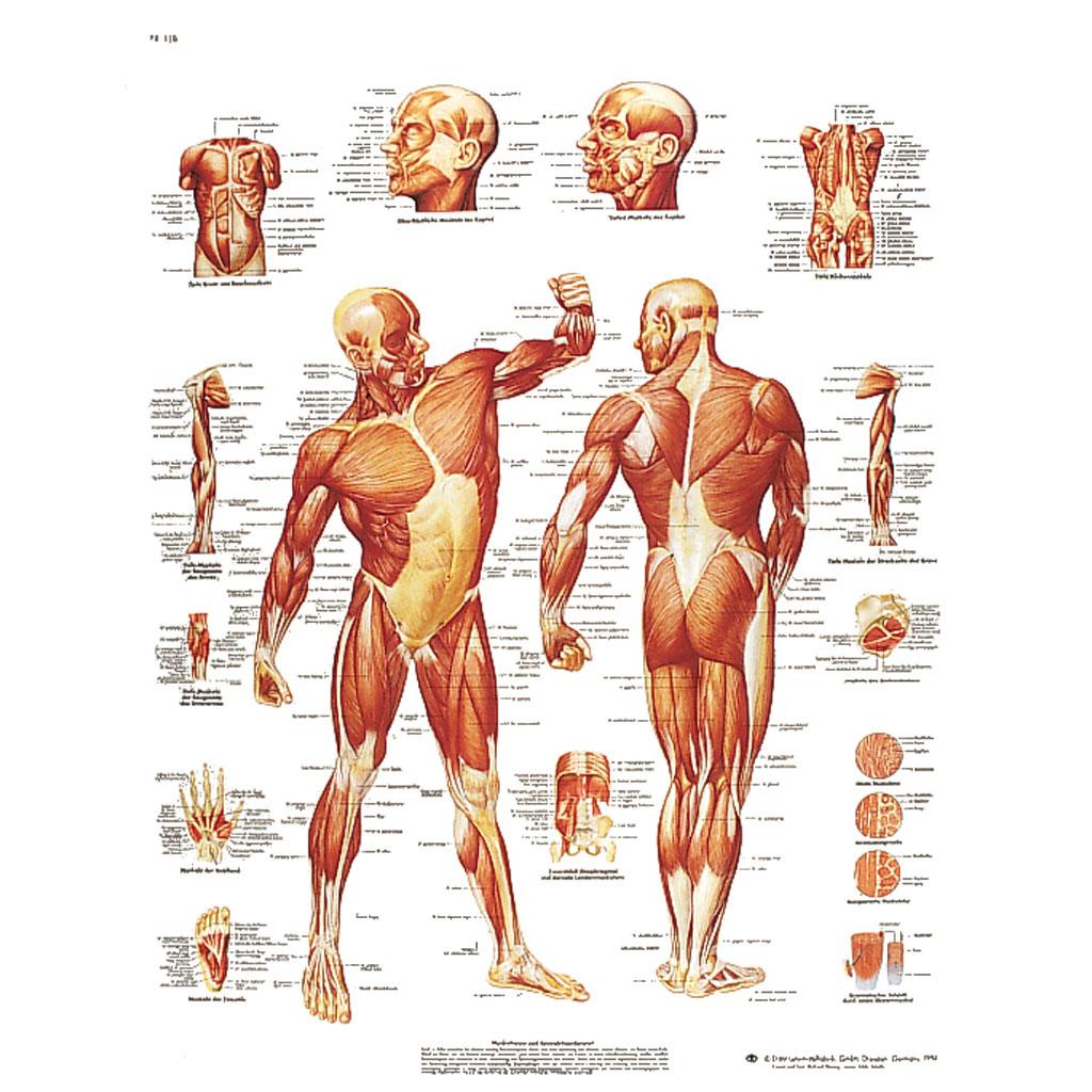 Die menschliche Muskulatur - Poster laminiert-W-21083L