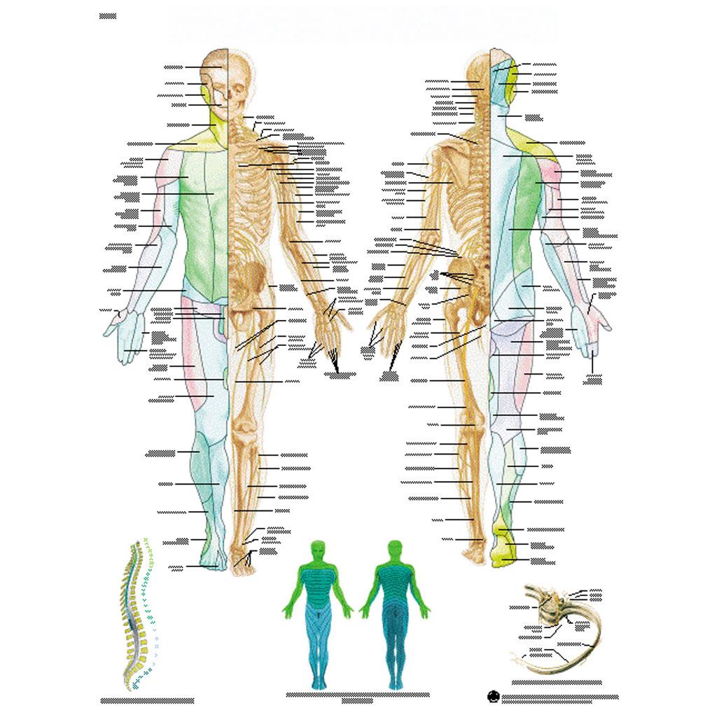 Das periphere Nervensystem - Poster-W-21103UB