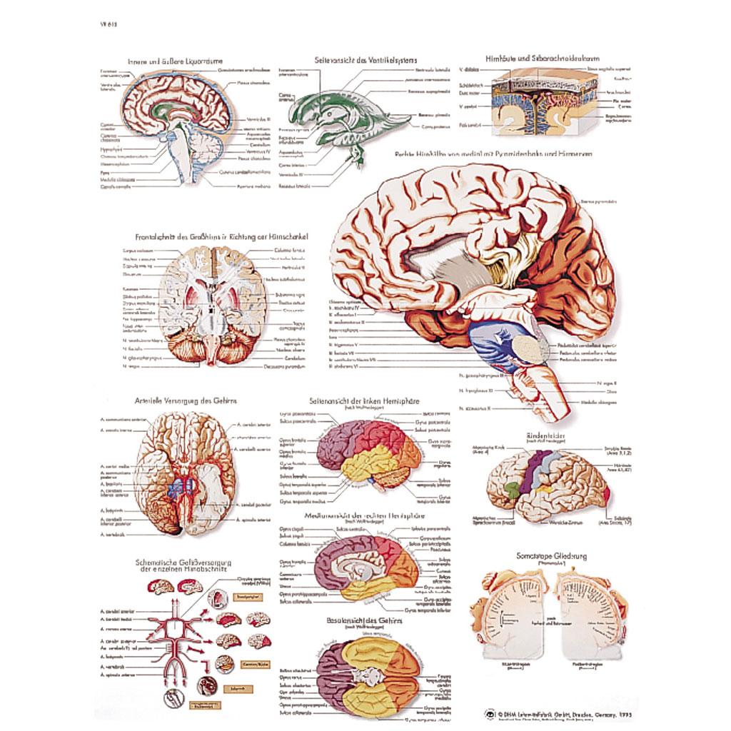 Das menschliche Gehirn - Poster-W-21105UB