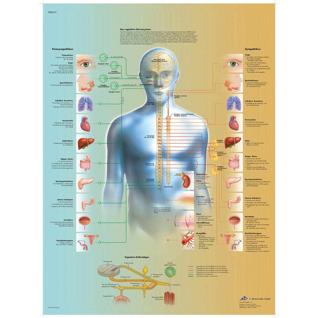Das vegetative Nervensystem - Poster-W-21117UB