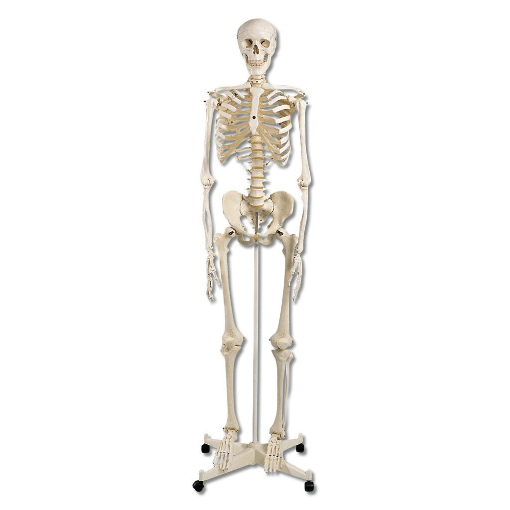 Torsen, Skelette, Schädel