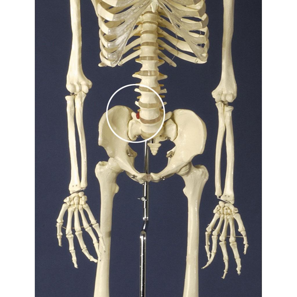 Menschliches Skelett-W-21323