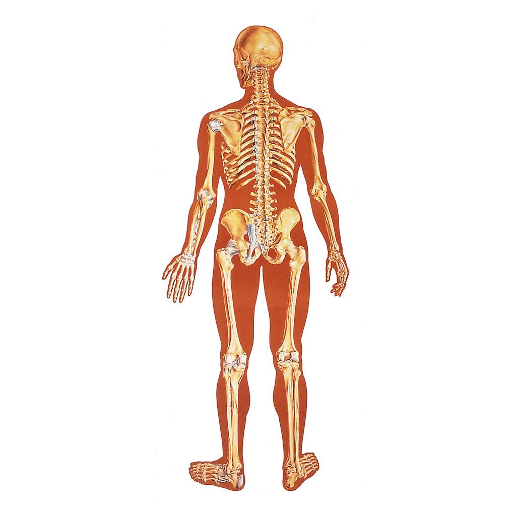 Das Skelett: Rückansicht - mit Holzbestäbung-W-21893M