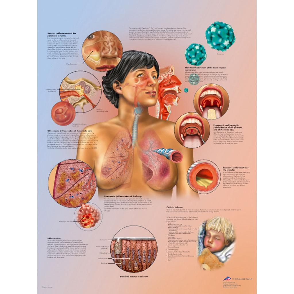 Fantastisch Menschliche Anatomie Poster Bilder - Anatomie Und ...