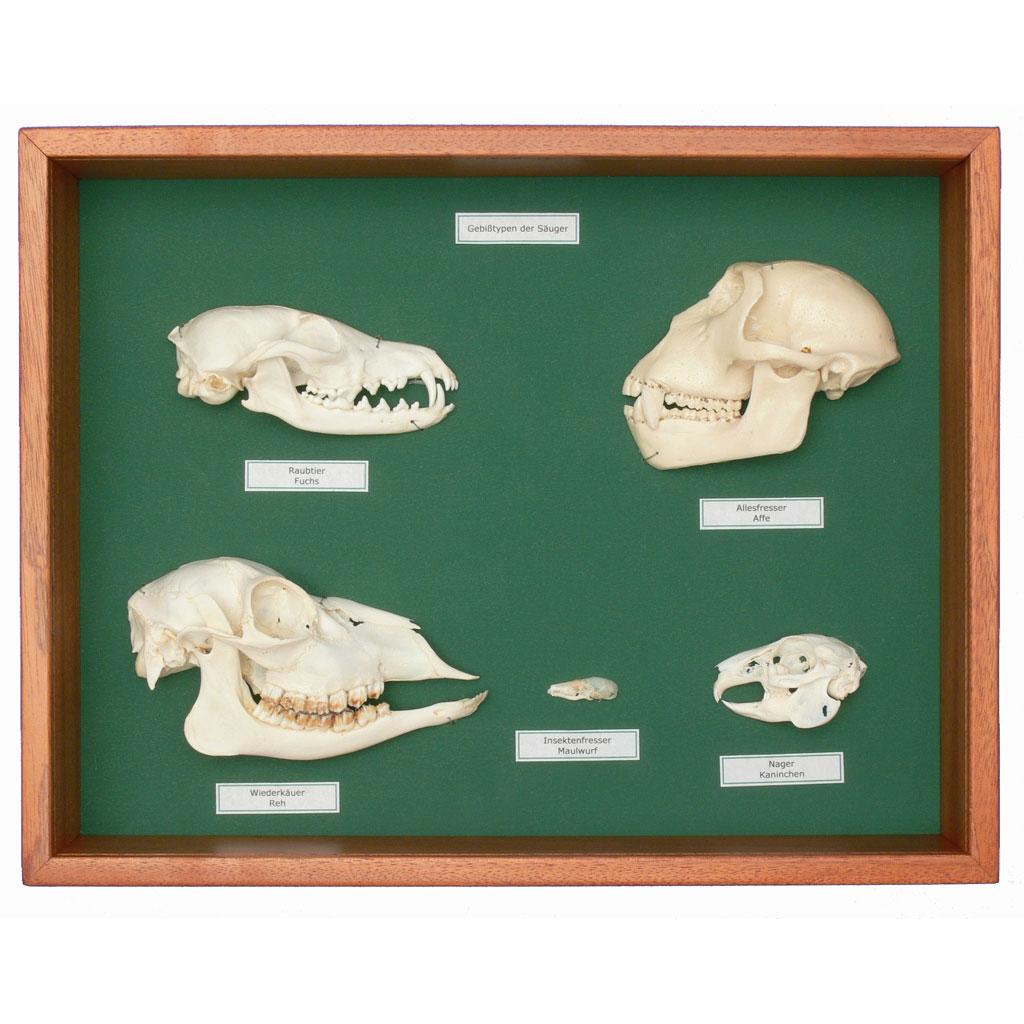 Botanik, Anatomische Modelle