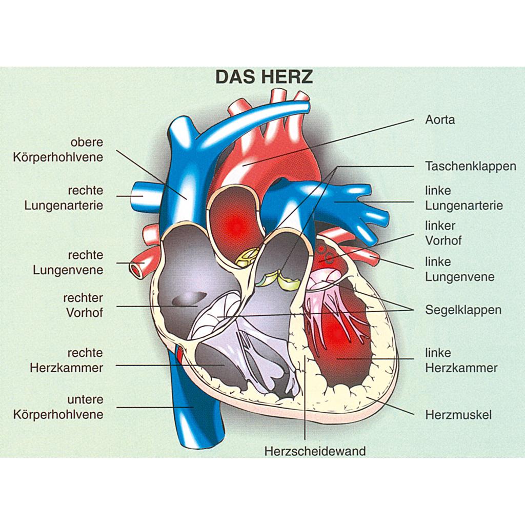 Aufbautransparente mappe humanbiologie 3 lunge atmung herz blutkreislauf