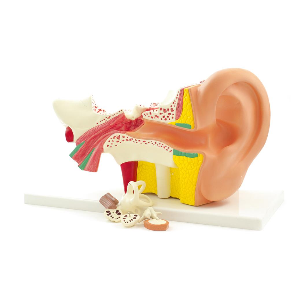 Das menschliche Ohr - Modell - hier online im WL-Versand bestellen