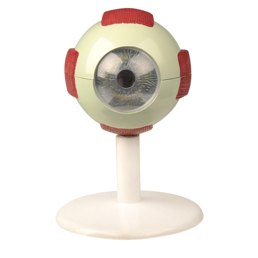Das menschliche Auge - Modell