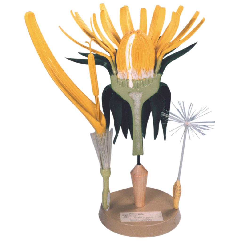 Löwenzahn-Blütenstand