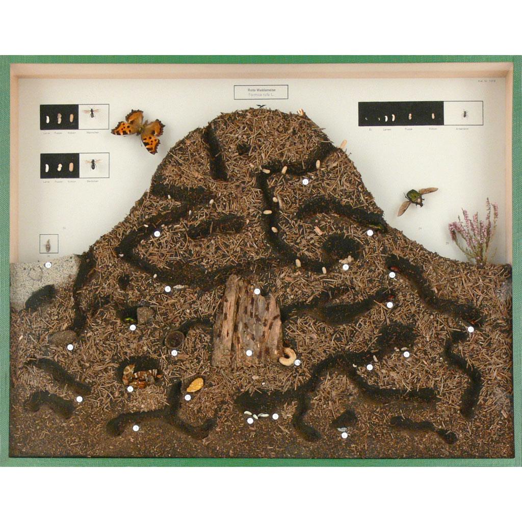 Ameisenhaufen und Bewohner