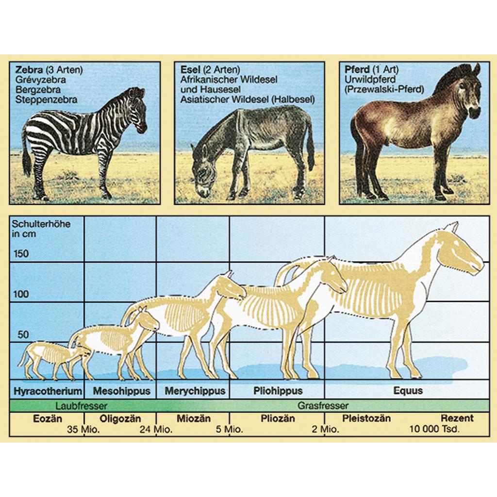 Nett Evolution Des Pferdes Arbeitsblatt Zeitgenössisch - Mathe ...
