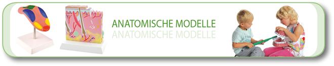 Anatomische-Modelle