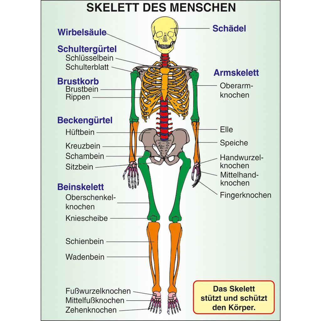 Großzügig Diagramm Der Knochen In Körper Galerie - Menschliche ...
