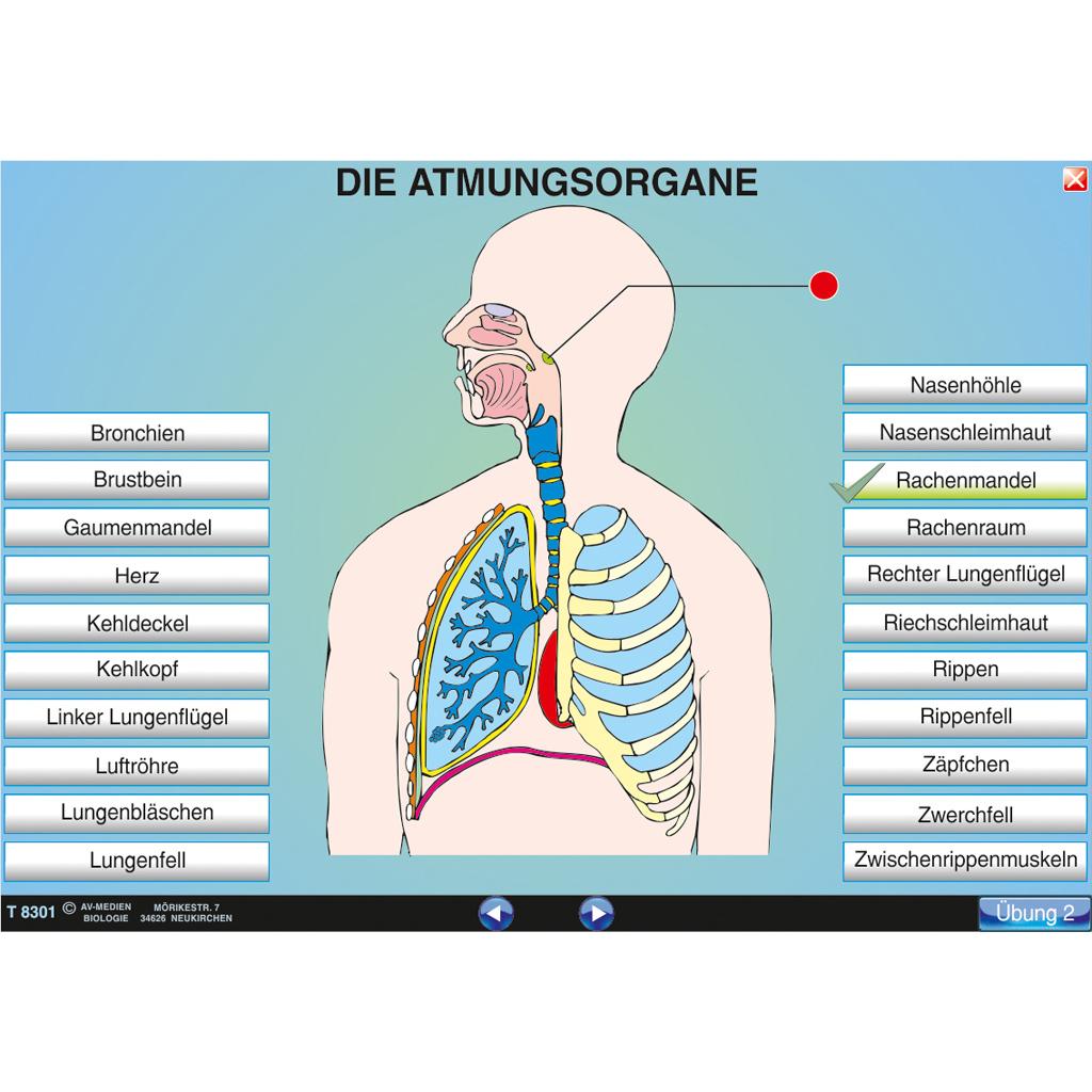 Die Atmungsorgane (Übersicht)-ST 8051