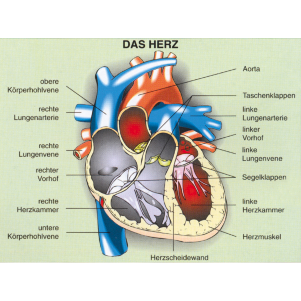 Herz - Bau und Arbeitsweise-ST 8056