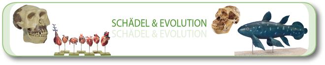Schädel & Evolution
